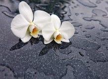 2 белых цветка орхидеи Стоковая Фотография