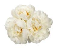 3 белых цветка пиона Стоковое фото RF