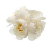 3 белых цветка пиона Стоковые Изображения RF