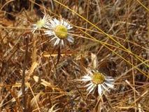 3 белых цветка с бабочкой на одном в zingaro dello riserva Стоковое фото RF