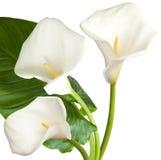 3 белых цветка Стоковое фото RF