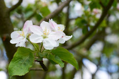 3 белых цветка Стоковые Изображения