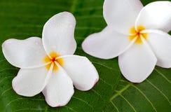 2 белых цветка frangipani на зеленых лист, конце вверх Стоковые Фотографии RF