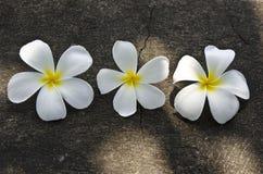 3 белых цветка Frangipani на камне grunge текстурируют backg Стоковая Фотография