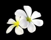 2 белых цветка plumeria Стоковое Фото