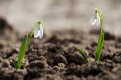 2 белых цветка snowdrop Стоковые Изображения RF