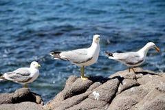 3 белых чайки на утесах. Стоковое фото RF