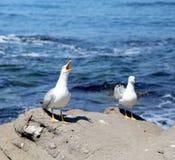 2 белых чайки на утесах. Стоковая Фотография