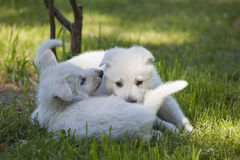 2 белых щенят чабанов швейцарца Стоковая Фотография