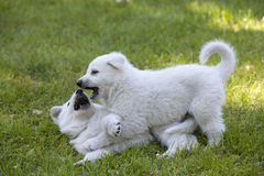 2 белых щенят чабанов швейцарца Стоковое Фото