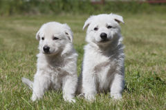 2 белых щенят чабанов швейцарца Стоковое Изображение RF