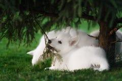 2 белых щенят чабанов швейцарца Стоковая Фотография RF