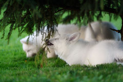 2 белых щенят чабанов швейцарца Стоковое фото RF
