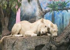 2 белых льва wedding для того чтобы отпраздновать день валентинки Стоковое фото RF