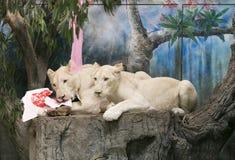 2 белых льва wedding для того чтобы отпраздновать день валентинки Стоковое Изображение