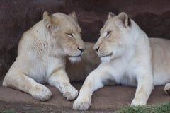 2 белых львицы Стоковые Изображения RF