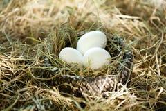3 белых яичка в гнезде соломы Стоковые Фото