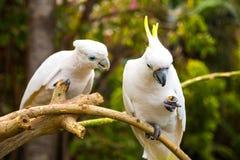2 белых cockatooes в парке Loro в Тенерифе Стоковые Изображения RF