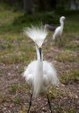2 белых egrets при раздражанные пер защищая территорию Белый кран против предпосылки голубые облака field wispy неба природы зеле Стоковое фото RF