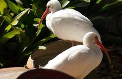 2 белых ibises и зеленое растение Стоковые Фото
