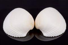 2 белых seashells изолированного на черной предпосылке Стоковые Фотографии RF