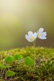 2 белых wildflowers весны Стоковые Фото