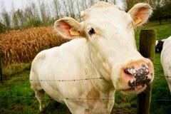 Бельгийская корова смотря криво Стоковое Изображение
