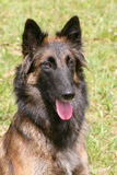 Бельгийская собака чабана в саде Стоковые Фото