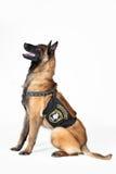 Бельгийская собака чабана Стоковая Фотография