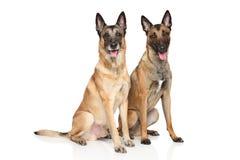 Бельгийская собака чабана Malinois на белой предпосылке Стоковые Фото