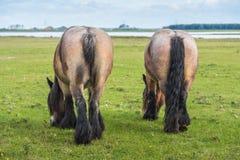 Бельгийские лошади Стоковые Изображения RF