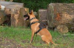 Бельгийские malinois собаки чабана на работе Стоковое фото RF