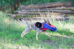 Бельгийские malinois собаки чабана на работе Стоковое Изображение RF