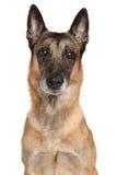 бельгийский чабан malinois собаки Стоковые Фотографии RF