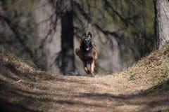 Бельгийский щенок чабана наслаждаясь свободой в природе Стоковое фото RF