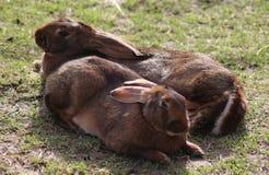 2 бельгийских зайца Стоковое Изображение RF