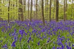 Бельгия, Vlaanderen Фландрия, Галле Bluebell цветет Hyacint стоковые изображения rf