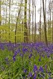 Бельгия, Vlaanderen Фландрия, Галле Bluebell цветет Hyacint стоковая фотография rf