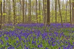 Бельгия, Vlaanderen Фландрия, Галле Bluebell цветет Hyacint стоковые фотографии rf