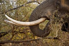 бивни слона стоковое изображение rf
