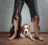 Бигль и его предприниматель в сорванных брюках и сдержанных ногах стоковое фото rf