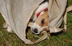 Бигль собаки в сумке Стоковые Изображения