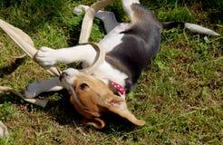 Бигль собаки играет Стоковая Фотография RF