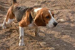 Бигль собаки стоковое изображение