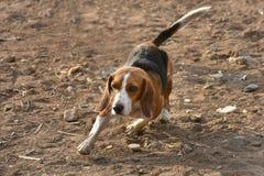 Бигль собаки стоковая фотография