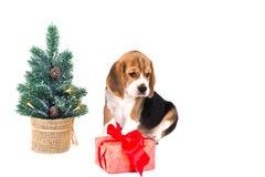 Бигль щенка около рождественской елки с розовой коробкой Стоковое фото RF