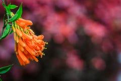 Бигнония (capensis Tecomaria) Стоковое Изображение