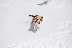 Бигль бежать в снеге Стоковые Изображения RF