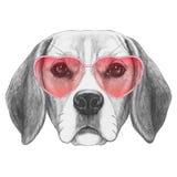 Бигль в влюбленности! Портрет собаки бигля с солнечными очками Стоковое фото RF