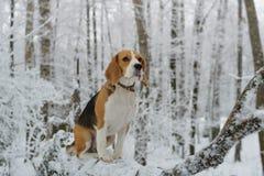 Бигль в лесе зимы Стоковые Изображения